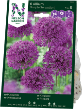 Purpurlök Allium x hollandicum Purple Sensation