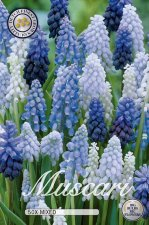 Pärlhyacint Muscari mixed 50st