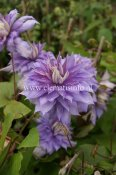 Clematis patens Countess of Lovelace, Klematis Storblommig, C2