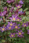 Clematis patens Exciting, Klematis Storblommig, C2