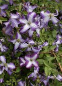 Clematis viticella I AM ® Lady J Zoiamlj, Italiensk Klematis, C2