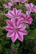 Clematis patens Love Jewelry, Klematis Storblommig, C2