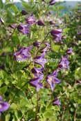Clematis texensis Prince William ® Zo08171, Lyktklematis, C2