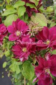 Clematis patens Red Star, Klematis Storblommig, C2