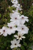 Clematis patens White Pearl ® Zo08080, Klematis Storblommig, C2