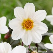 Dahlia Enkel Dahlegria® White (Twynings After Eight) 1st