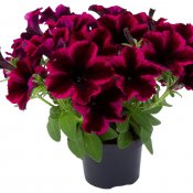 Petunia, Stickling, GO!Tunia ® Cosmic Purple