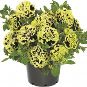 Petunia, Stickling, Mystical ® Midnight Gold