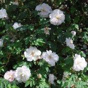 Rosa spinosissima Stanwell Perpetual C4