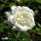 Rosa wichuraiana White New Dawn C4