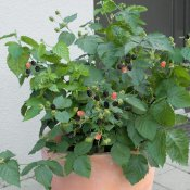 Rubus fruticosus Lowberry ® Little Black Prince, Björnbär, C5