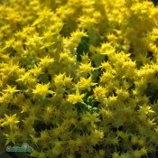 Sedum acre Yellow Queen, Gul Fetknopp, P9cm