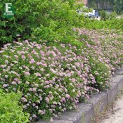 Spiraea japonica Little Princess E, Rosenspirea 10-pack, 20-30 barrot