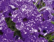 Petunia, Stickling, NightSky ®