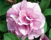 Petunia, Stickling, SweetSunshine ® Pink Purple Vein