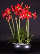 Amaryllis Multiflora Striped Garden ®