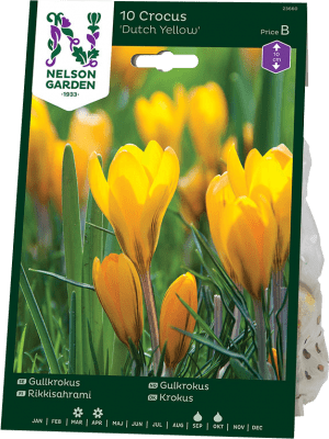 Gullkrokus Crocus x stellaris Dutch Yellow
