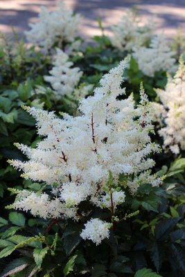Astilbe arendsii Rock & Roll ®, Astilbe, SQ1