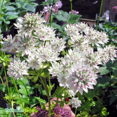 Astrantia major Star of Billion ®, Stjärnflocka, C11,5cm