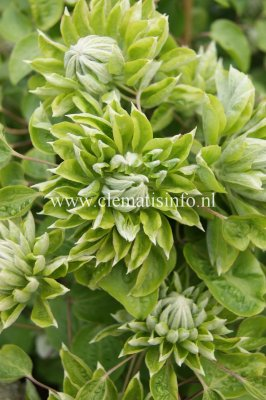 Clematis patens Green Passion ®, Klematis Storblommig, C2