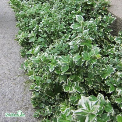 Euonymus fortunei Emerald´n Gaiety, Silverbenved, C2