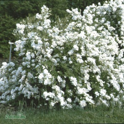Exochorda The Bride, Pärlbuske, 30-40 C3,5