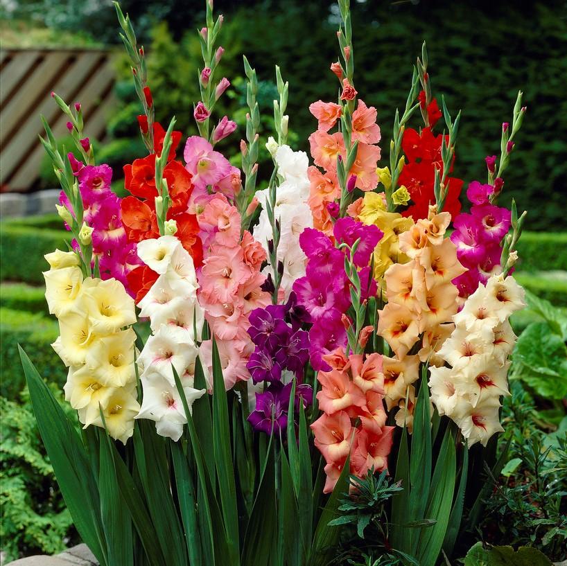 Red Gladiolus Flowers Fishnet T000240
